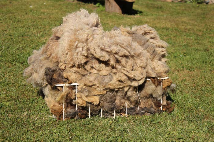 shearing Gotland Susi
