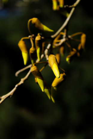 kowhai photo by Birgit Moffatt
